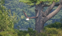 Eagle on Lone Tree Island